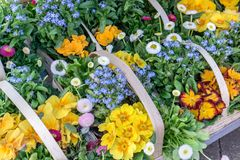 Baskets with colorful spring flowers. Baskets with colorful primroses, daisies and forget-me-nots Stock Photography