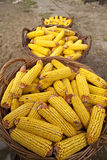 Baskets with corn cobs Royalty Free Stock Image