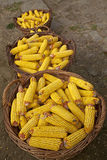 Baskets with corn cobs Stock Photography