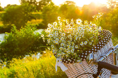 Baskets with daisies at sunset Royalty Free Stock Photo