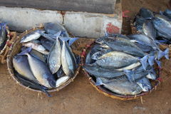 Baskets of fishs. Baskets of freshly caught fish in the Indian ocean on the market in Negombo Stock Image