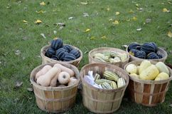 Baskets full of squash Stock Photography