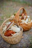 Baskets full of various kinds of mushrooms in a forest Stock Image