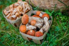 Baskets full of various kinds of mushrooms in a forest Royalty Free Stock Photo