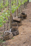 Baskets for grape harvest Royalty Free Stock Image