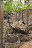 Baskets for grape harvest. VINHEDO, SP, BRAZIL - OCTOBER 31, 2015 - Preparation of the grape harvest, collected in small bamboo baskets not to hurt the fruits Royalty Free Stock Photo