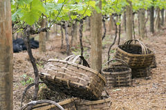 Baskets for grape harvest Stock Images