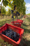 Baskets of grapes Sangiovese royalty free stock image