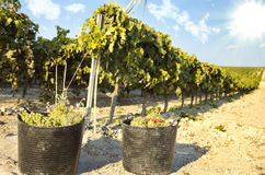 Baskets of grapes on a vine Stock Image