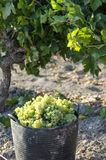 Baskets of grapes Stock Images