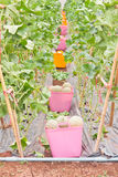 Baskets of harvested Japanese musk melon Royalty Free Stock Images