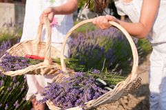 Baskets of lavender. Baskets full of lavender flowers Royalty Free Stock Photography