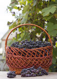 Baskets with nature grapes Royalty Free Stock Images