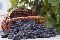 Baskets with nature grapes Stock Image