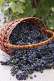 Baskets with nature grapes Stock Photo