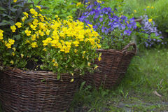 Baskets with viola Stock Image