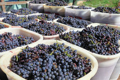 Baskets of wine grapes stock photography