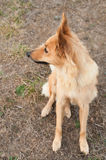 Baskijski sheepherder psa portret obrazy royalty free