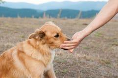 Baskijski sheepherder psa portret obraz royalty free