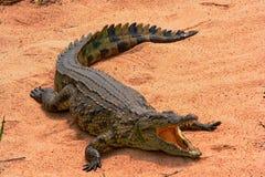 basking крокодил стоковые изображения rf