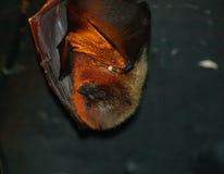 basking летучая мышь Стоковые Изображения RF
