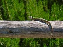 basking солнце зеленой ящерицы стоковая фотография rf