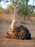 basking солнце страуса Стоковые Фотографии RF