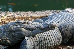 basking солнце крокодила Стоковая Фотография