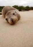 basking уплотнение островов galapagos пляжа Стоковое Изображение RF