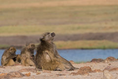 Basking Baboon. Baboon basking in sunlight next to river, Botswana, 2015 royalty free stock image