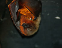 Basking Bat Royalty Free Stock Images