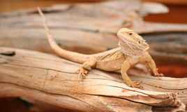 Basking Bearded Dragon. A young bearded dragon basks on a log in Australia's outback Royalty Free Stock Photo