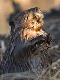 Basking Beaver. An adult beaver basks in warm late evening sunlight royalty free stock images