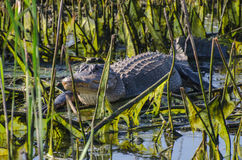 Basking Bull Gator, Savannah National Wildlife Refuge Royalty Free Stock Photos