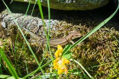 Basking common lizard. Stock Photo