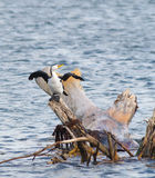 Basking Cormorant Stock Images
