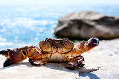 Basking crab Royalty Free Stock Photo