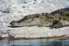 Basking crocodile. A crocodile basking on some river rocks Royalty Free Stock Photos