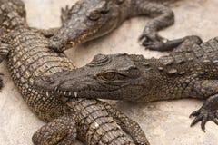 Basking Crocs Stock Photography