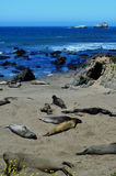 Basking Elephant Seals, Pacific Coast, near Morro Bay, California, USA Stock Photo