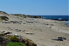 Basking Elephant Seals, Pacific Coast, near Morro Bay, California, USA Stock Images