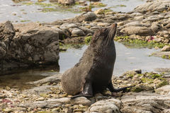 Basking fur seal Royalty Free Stock Images