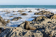 Basking fur seals in New Zealand coast. Maasking fur seals Wellington in New Zealand coast Royalty Free Stock Photography