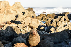 Basking fur seals in New Zealand coast Royalty Free Stock Image