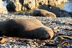 Basking fur seals in New Zealand coast. Maasking fur seals Wellington in New Zealand coast Stock Photo