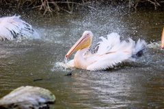 Basking Great White Pelican, Pelecanus onocrotalus, Royalty Free Stock Photography