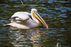 Basking Great White Pelican, Pelecanus onocrotalus, Stock Images
