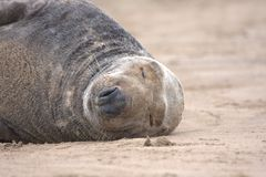 Basking grey seal Stock Photography