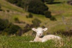Basking lamb Royalty Free Stock Photos