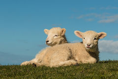 Basking lambs against blue sky Royalty Free Stock Photo